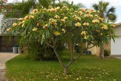 instructions on how to grow a frangipani plant