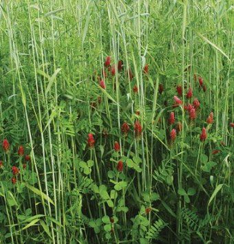 hairy vetch planting instructions
