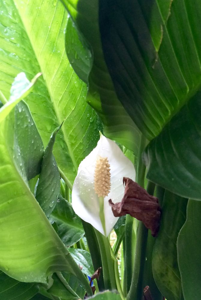 peace plant care instructions