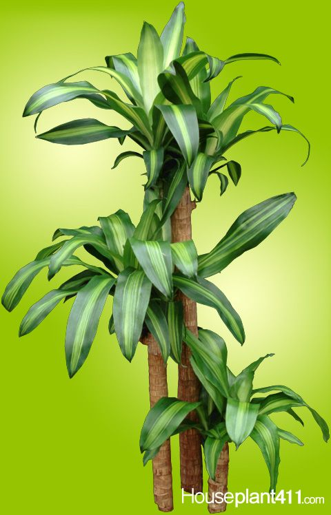 care instructions for dracaena houseplant