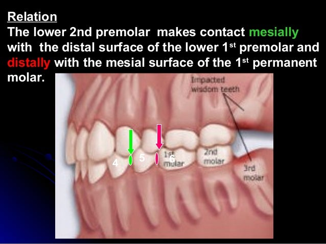 drawing instructions for upper permanent 2nd molar